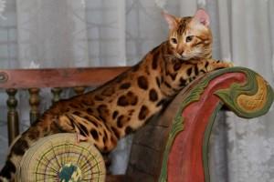 - baka kucing Bengal corak 'spotted'