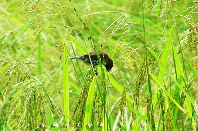 burung makan padi